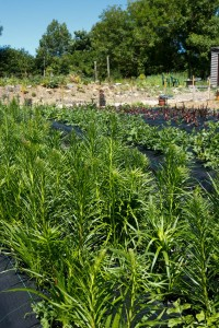 Our organic Cutting Garden at 'Lodge Farm', Ashington. IMG_8319-200x300