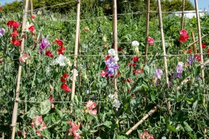 Our organic Cutting Garden at 'Lodge Farm', Ashington. IMG_8331-300x200