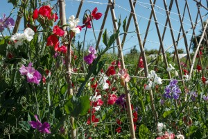 Our organic Cutting Garden at 'Lodge Farm', Ashington. IMG_8338-300x200