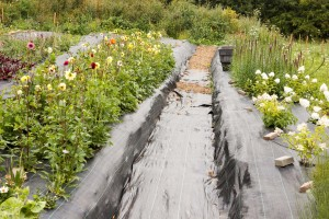 Our organic Cutting Garden at 'Lodge Farm', Ashington. IMG_8402-300x200