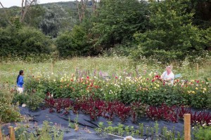 Our organic Cutting Garden at 'Lodge Farm', Ashington. IMG_8418-300x200